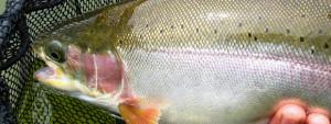 Roche Lake rainbow trout :: photo by Richard Mayer