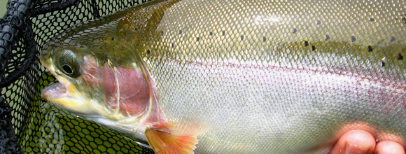 Roche Lake rainbow trout :: photo by Richard Mayer