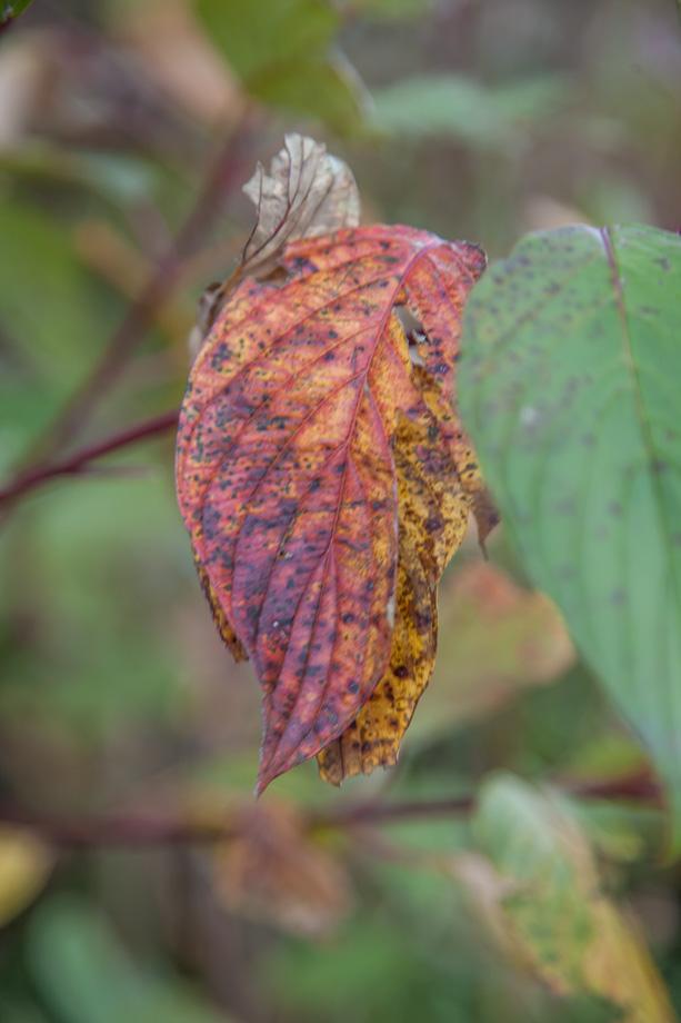 4861VL Sumac Leaf in Fall Colours